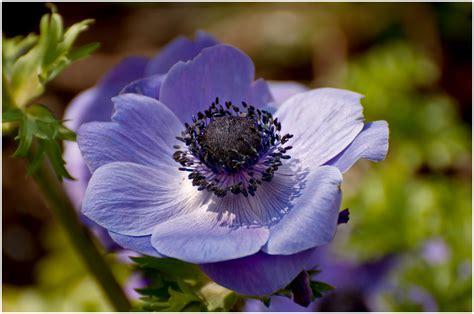 Kronen Anemone kronen anemone foto bild pflanzen pilze flechten