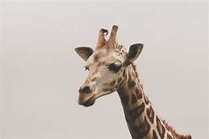 This giraffe reminds me of ️lana del rey - image #2345570 ...