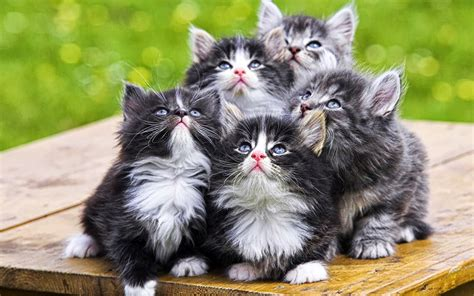 gambar kucing lucu wallpaper keren