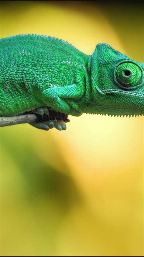 wallpaper chameleon  animals