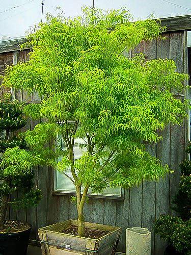 koto  ito japanese maple trees  sale  tree center