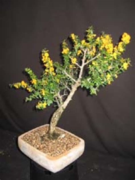 brya ebenus jamaican rain tree