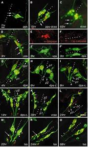 Integration Of Complex Larval Chemosensory Organs Into The