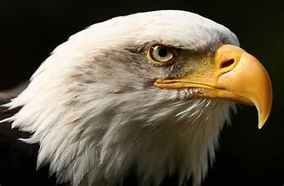 Eagle Animal Bird Bald Wallpapers Sharp American