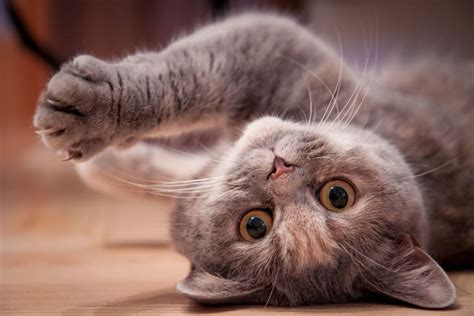 Šodien Pasaules kaķu diena: Sveicam minku saimniekus ...