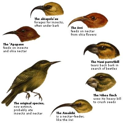 darwin s finches adapted their beak shapes to food sources