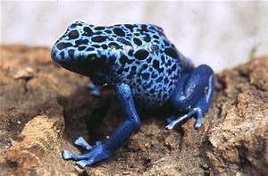 Blue Poison Arrow Frog