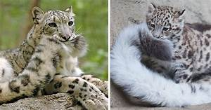 Snow Leopards Love Nomming On Their Fluffy Tails (12 Pics ...