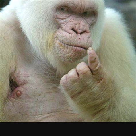 Albino Meme - seduced by albino gorilla meme pinterest albino gorilla and the o jays
