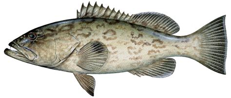 grouper gag fish florida fishing drawing species travel information identification gulf key west golden tilefish natural north catalog types epinephelus