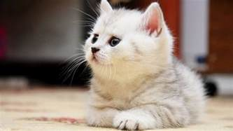 for cats free beautiful cat wallpapers hd pictures one hd wallpaper