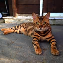 bengal tiger cat this striped and spotted cat s fur is mesmerizing the