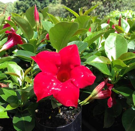 Dipladenia Sanderii Aloha Red  Brazilian Jasmine