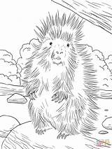 Porcupine Coloring North American Pages Porcupines Printable Supercoloring Furry Animals Drawing Animal Farm Crested Unit Colors Getcoloringpages African Categories sketch template