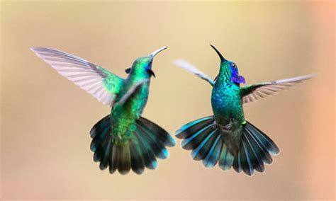 why do hummingbirds fight wings of desire why birds captivate us books the guardian