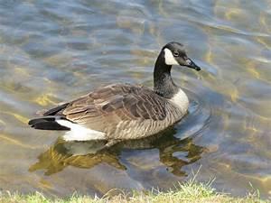 Canada goose buy