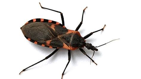 update deadly kissing bug   tn  ga wrcbtvcom