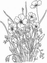 Poppy Coloring Flower Flowers Recommended sketch template