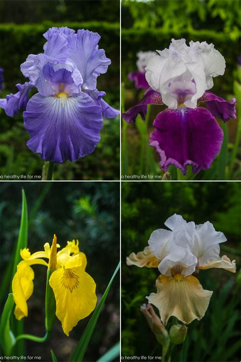 how to plant bearded iris a healthy for me