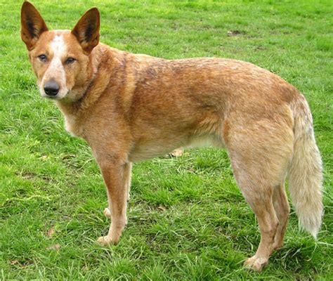 Australian Cattle Dog Wolna Encyklopedia