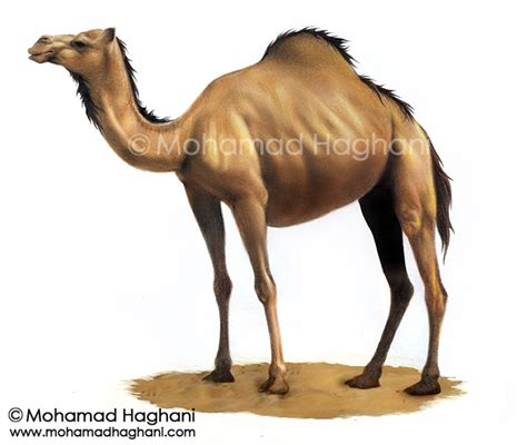 Camel Images Camel Gallery Mohamad Haghani