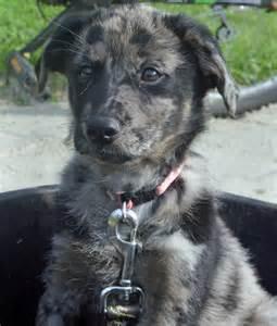 Australian Shepherd Lab Mix Puppies