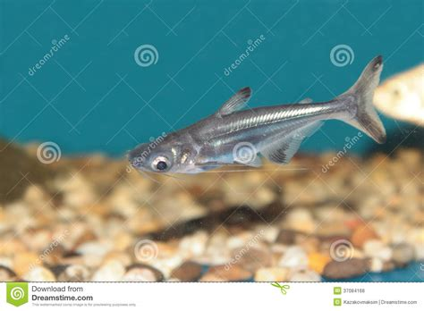 poissons iridescents d aquarium de requin photos libres de droits image 37084168