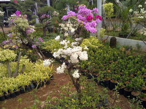 jual bonsai bunga kertas bougenville supplier tanaman
