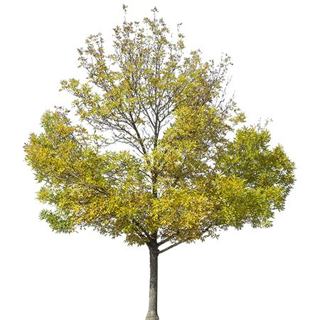 yellow greenish tinted tree   background removed