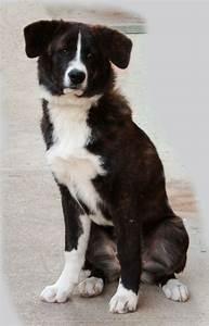 Berner Sennenhund Gewicht : berner sennenhund mischling mix ~ Markanthonyermac.com Haus und Dekorationen