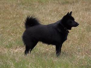 Schipperke - Dog Breed history and some interesting facts