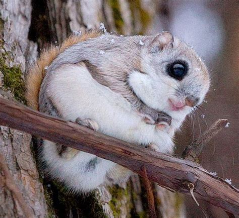Wallpapers Pictures Of japanese Dwarf Flying Squirrel