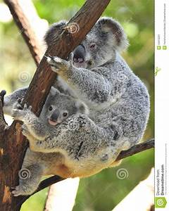 Australian Koala Bear With Cute Baby Australia Stock Image ...