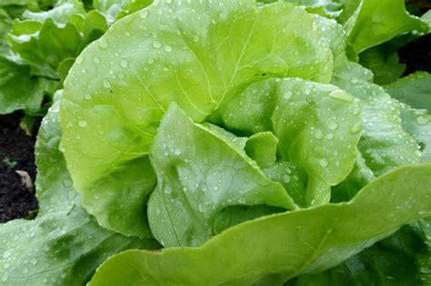 รูปภาพฟรี: ใบ พืช ผักกาดหอม ผัก อาหาร ธรรมชาติ สลัด ...