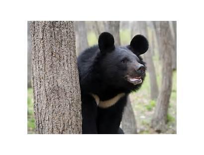 Bear Taiwan Formosan National Bears Asiatic Gunma
