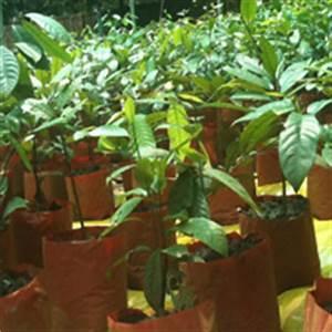 Meet the Nutmeg | Pure Organic Nutmeg Saplings & More