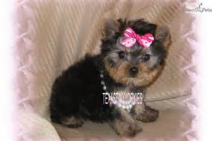 Baby Teacup Yorkie Puppies