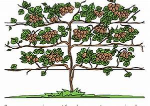Tailler Les Kiwis : kiwi plantation et taille club equitation association des jardiniers de lattre saint quentin ~ Farleysfitness.com Idées de Décoration