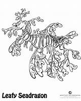 Dragon Sea Leafy Coloring Drawing Pages Seahorse Colors Dragons Colouring Drawings Octonauts Bay Aquarium Boat Monterey Books Ocean Tattoo Age sketch template
