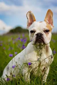 Hundebekleidung Französische Bulldogge : franz sische bulldogge charakter ~ Frokenaadalensverden.com Haus und Dekorationen