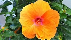 Riesen Hibiskus Kaufen : hibiskus pflege wie sie die bildung vieler bl ten am besten f rdern ~ Watch28wear.com Haus und Dekorationen