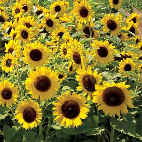 sunspot sunflower seeds from park seed