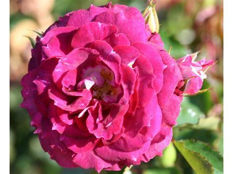Let's Celebrate Rose