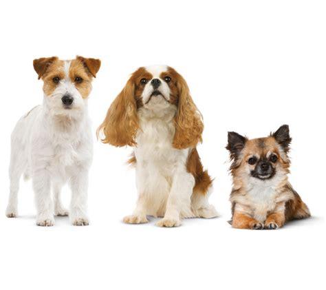 gatto da appartamento razza cani da appartamento le razze ideali royal canin