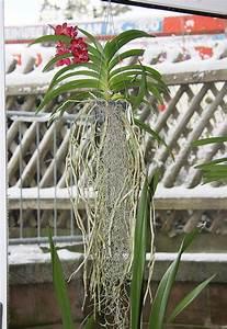 Orchidee Vanda Pflege : vanda wurzelnackt oder im k rbchen halten majas ~ Lizthompson.info Haus und Dekorationen
