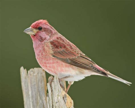 purple finch audubon field guide