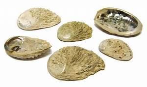 Deko Muscheln Kaufen : abalone natur echte meeresmuscheln deko muscheln eur 1 99 miroflor floristik geschenke ~ Orissabook.com Haus und Dekorationen