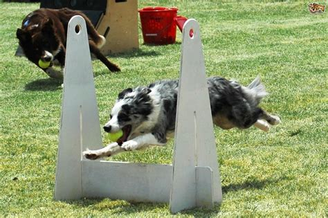 exercises  games  delight  herding dog petshomes