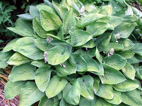 what are hostas hosta plant gallery