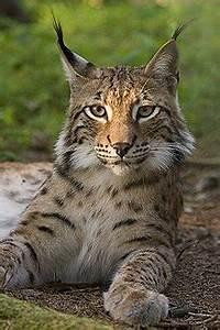 Light Grey Kitten Lynx Simple English Wikipedia The Free Encyclopedia